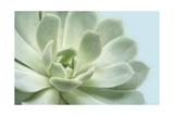 Soft Focus Succulent 3
