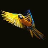 Yellow Tropical Parrot Flying to Exotic Freedom on Dark Background