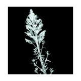 X-Ray Image Flower Isolated on Black   the Antirrhinum Snapdrago