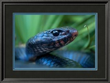 Close Up Portrait of an Indigo Snake