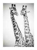 Couple de Girafes (N&B)