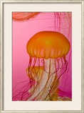 Shedd Aquarium  Jellyfish  NE Pacific Sea Nettle Marine Life  Chicago  Illinois