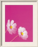 Two Pink Flowers Against Bright Pink Colored Background