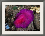 Fuschia Pink Flatworm with White Dots  Bali  Indonesia