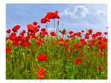Field Of Poppies - Panoramic View Reproduction d'art par Melanie Viola