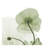 Sage Iceland Poppy