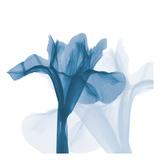 Iris Blues B51
