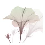 Neapolitan Hibiscus