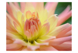 Yellow Orange Dahlia 6