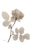 Rose Cream 1