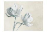Blue Ivory Blossom 2