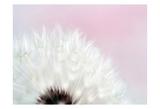 Pink Dandelion 2