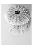 Urchins Reproduction d'art par Tracey Telik
