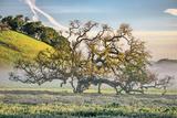 Elegant Oak and Mist  Petaluma Trees  Sonoma County  Bay Area