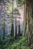 Mystical Forest  Del Norte Coast Redwoods  California
