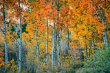 Autumn Aspen Design  Bishop Creek Canyon  Eastern Sierras