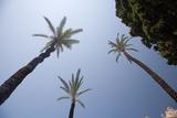 Palm Trees in Cadiz