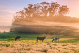 Country Farm and Morning Light  Rural Scene  Mist and Fog  Petaluma