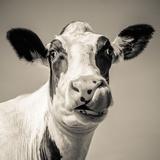 Close Upon a Cows Face