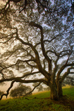 Mysterious Winter Oak  Petaluma  Sonoma County