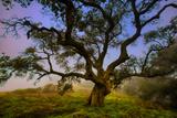 Dark Oak  Petaluma Hills  Northern California  Bay Area Trees