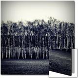 Row of Birch Trees