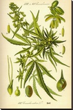 Cannibis Sativa