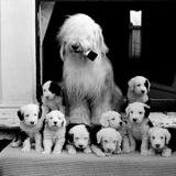 Sheep Dog and Pups