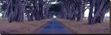 Monterey Cypress Trees  Point Reyes  California