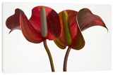 Anthurium on White