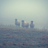 Sheep in a Field in Winter