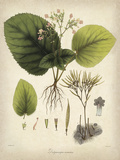 Vintage East Indian Plants I