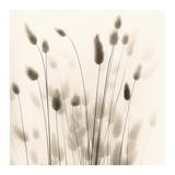 Italian Tall Grass No 1