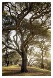 Oak Tree 69
