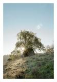 Oak Tree 35