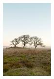 Oak Tree 34
