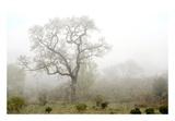 Oak Tree 62