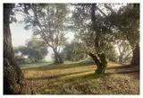 Oak Tree 70
