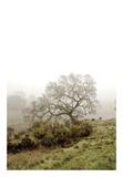 Oak Tree 43
