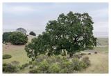 Oak Tree 108