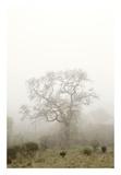 Oak Tree 63