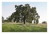 Oak Tree 93
