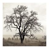 Sonoma Oak 1