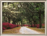 Road Lined with Azaleas and Live Oaks  Spanish Moss  Savannah  Georgia  USA