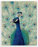 Blue Peacock Looking Left