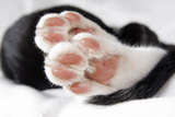 Domestic Cat  black and white kitten  close-up of paws