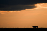 Massai Lion (Panthera leo nubica) adult male  silhouetted against sky at sunset  Masai Mara  Kenya