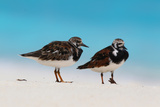 Ruddy Turnstone (Arenaria interpres) two adults  breeding plumage  standing on beach  Bird Island