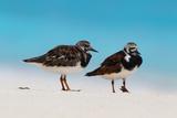 Ruddy Turnstone (Arenaria interpres) two adults  breeding plumage  standing on beach  Bird Island