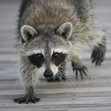 Common Raccoon (Procyon lotor) adult  walking on boardwalk in swamp  Florida  USA